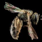 abeja que come sudor