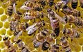 probióticos en la miel