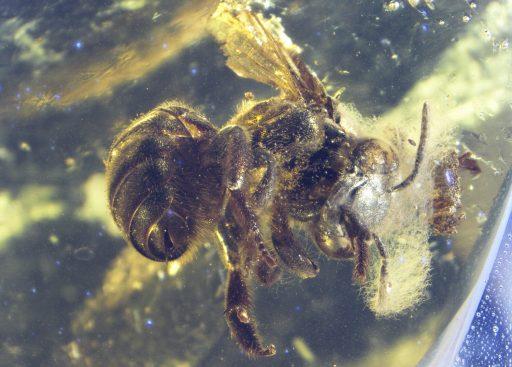 Ctenoplectrella viridiceps, Evolución y registro fósil de abejas, fósil,, abejas antiguas