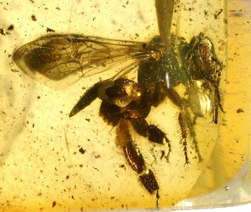 Melisitas trigona, fosil, Evolución y registro fósil de abejas, abejas antiguas