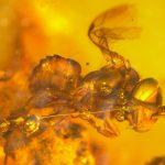 Evolución y registro fósil de abejas, Nogueirapis silaceae, fosiles de abejas, la historia de las abejas