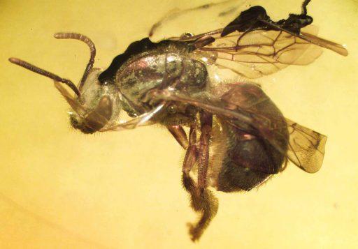 Oligochlora eickworti, abejas antiguas, fosil Evolución y registro fósil de abejas