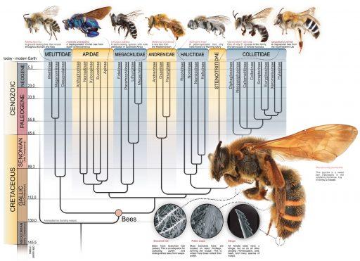 evolución de las abejas, Evolución y registro fósil de abejas, fósil abejas